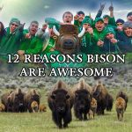 12 Reasons Bison Are Awesome